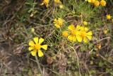 Creeping Spotflower (Acemella oppositifolia)