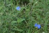 Erect Dayflower (Commelina erecta)