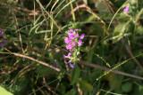 False Mint (Dicliptera brachiata)