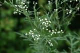 False Ragweed (Parthenium hysterophorus)