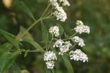 Freeze Plant (Verbesina virginica)