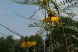 Giant Coneflower (Rudbeckia maxima)