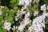 Late Flowering Bonset (Eupatorium serotinum)