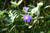Low Ruella (Ruellia humilis)