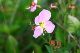 Maryland Meadow Beauty (Rhexia mariana)