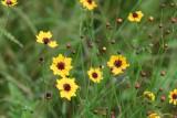 Plains Coreopsis (Coreopsis tinctorai)