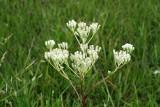 Prairie Plantain (Arnoglossum plantagineum)