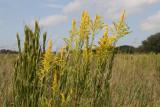 Tall Goldenrod (Solidago canadenis)