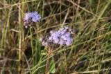 Mist Flower (Conoclinium coelestinium)