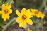 Swamp Sunflower (Helianthus angustifolius)
