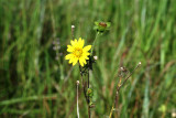 Texas Dandelion (Pyrrhopappus pauciflorus)