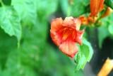 Trumpet Vine-Creeper (Campsis radicans)