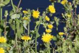 Sow Thistle (Sonchus asper)
