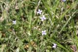 Small Bluets (Houstonia micrantha)