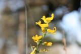 Southern Corydalis (Corydalis micrantha)