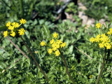 Prairie Parsley (Polytaenia nuttallii)