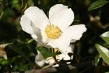 Marcartney Rose (Rosa bracteata)