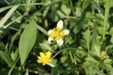 Carolina Buttercup-White Color Variation (Ranunculus carolinianus)