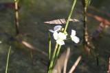 Delta Arrowhead (Sagittaria platyphylla)