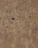 Pheasant. IMG_3777.jpg