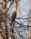 Hawk. IMG_4034.jpg