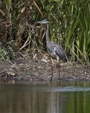 Great Blue Heron IMG_1235.jpg