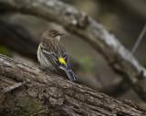 Myrtle Warbler Female IMG_1273.jpg
