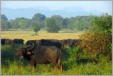 Wild Buffalo Wasgomuwa Sri Lanka