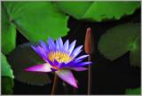 Lotus Blossom Sri Lanka