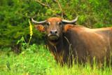Wild Water Buffalo Sri Lanka