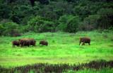 Gal Oya Elephants