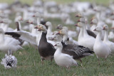 Snow Goose and Ross's Goose