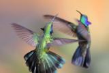 SWIFTS & HUMMINGBIRDS