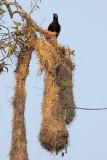 Montezuma Oropendola w/Nest