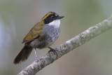 Green-striped Brush-Finch