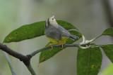 Golden-crowned Warbler