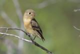 Buff-bellied Flycatcher