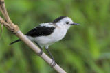 Pied Water-Tyrant