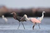 Roseate Spoonbill, Reddish Egret, Snowy Egret