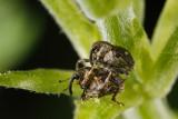 Mating Weevils