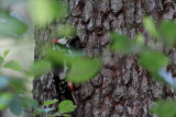 Woodpecker with grubs at the nest enrance