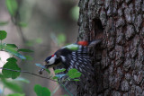 Woodpecker flying off with the trash