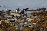 Oystercatcher and young