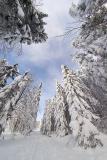 Snow-laden Firs