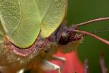 Detail (Gonepteryx rhamni)