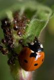Ladybug, Aphids, and Ants - Part II