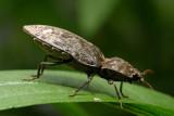 Click Beetle (Agrypnus murinus)