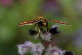 The butt of a Mint Moth, Pyrausta aurata