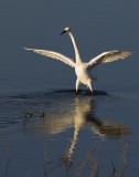 Egret-BolsaChica2008_12645.jpg