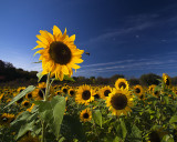 Sunflower&Bee_6487.jpg